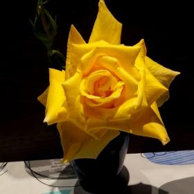 Майска роза