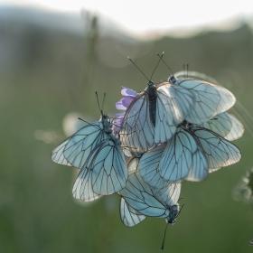Пеперуди в полето