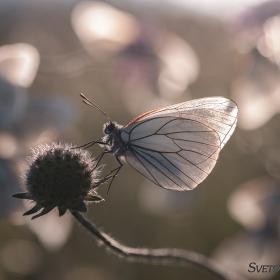 Овощна пеперуда