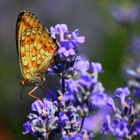Лавандула и пеперуда