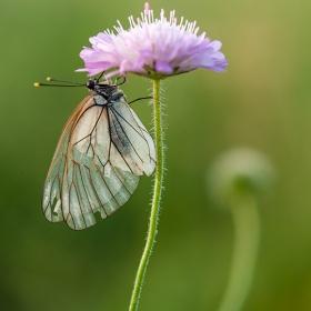 раздърпани крила