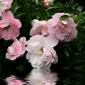 Отражение на рози