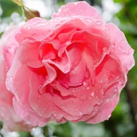 Роза след дъжд