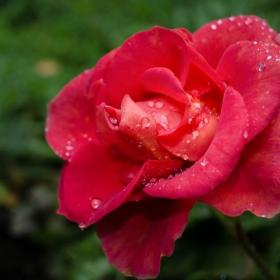 Червена роза