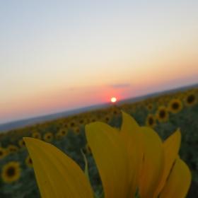 залез над слънчогледите