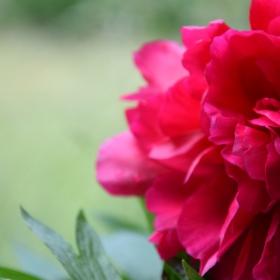 Cyclamate Flower