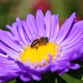 Пчеличка на цвете