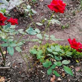 4 рози