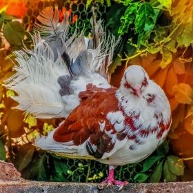 Гълъб фенерлия