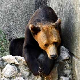 Съвременна българска мечка-Ursus bulgaricum contemporari