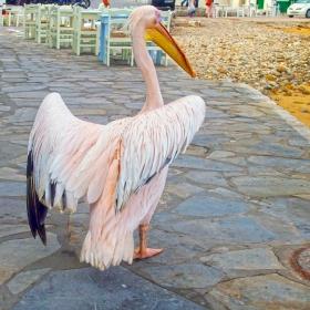 Пеликанът Петър
