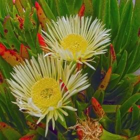Разцъфнали кактуси