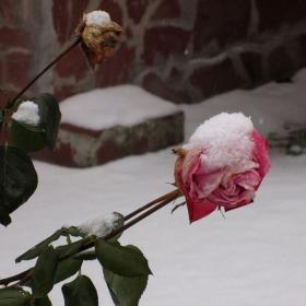 Късни рози...
