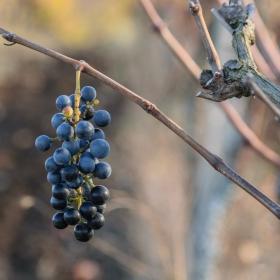 Последно есенно грозде