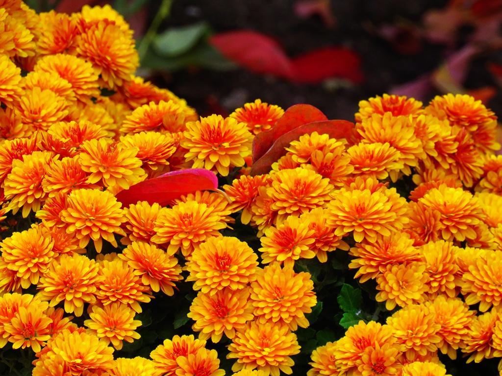Огнени есенни хризантеми