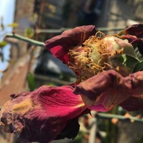 Овяхнала роза