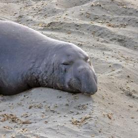 Морски слон