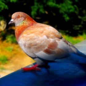 Гълъба Димитър