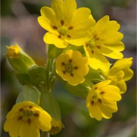 Иглика Primula