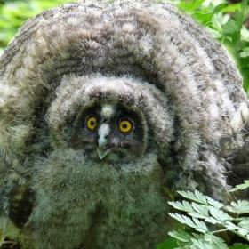 Горска ушата сова - бебе
