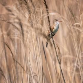 Блатна пойна птичка