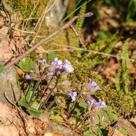 Родопският силивряк - Haberlea rhodopensis в Стара планина