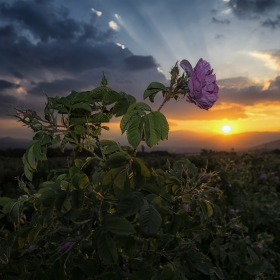 Една българска роза