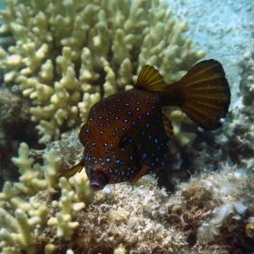 От чудесиите на Червено море - Ostarcion cubicus
