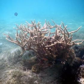 Коралово дръвче с рибки, вместо птички...