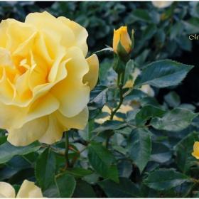 Символ съм на красотата и Царица сред цветята!