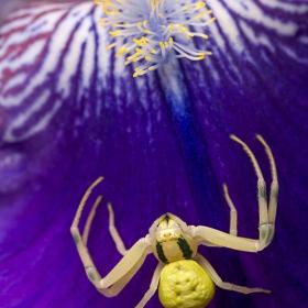 Перуника и Крабов паяк