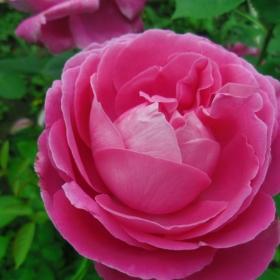 В розово