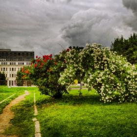 Рози в центъра на столицата