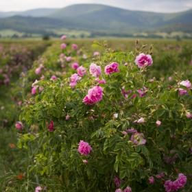 В долинта на розите