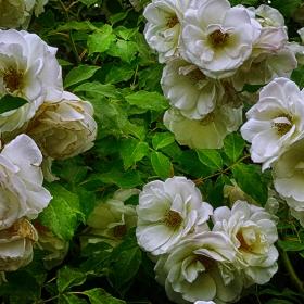 Белите рози