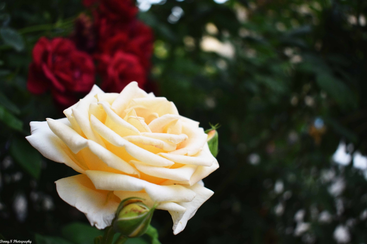 Розите от Стария град, Пловдив