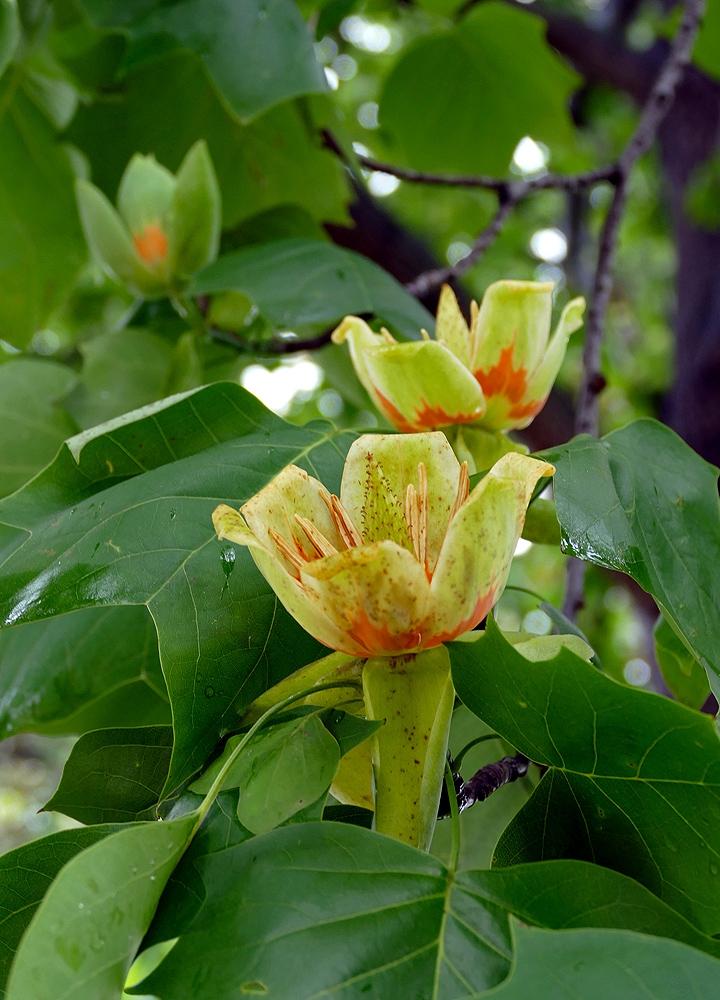 Tulip tree , Liriodendron