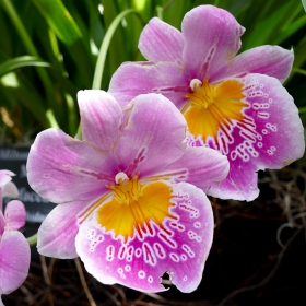 Miltoniopsis, Pansy Orchid