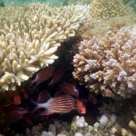 В сянката на коралите