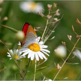 Танцът на пеперудата