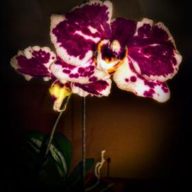 Моята орхидея