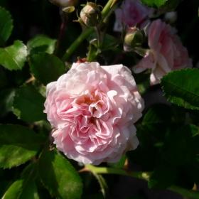 Роза единак