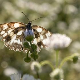 шахматна пеперуда