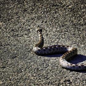 Змия на асфалта