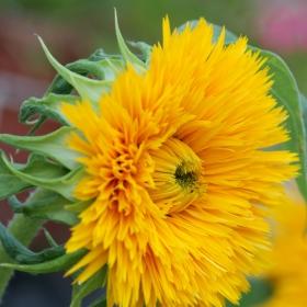Градинско цвете