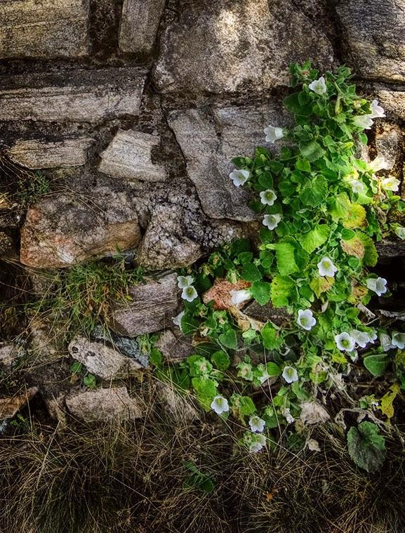 Диво цвете край стария зид
