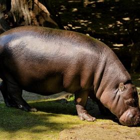 Pygmy hippopotamus ...Хипопотам джудже