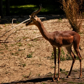 Gerenuk .... Жирафова газела