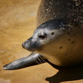 Seehund ..... Обикновен сив тюлен