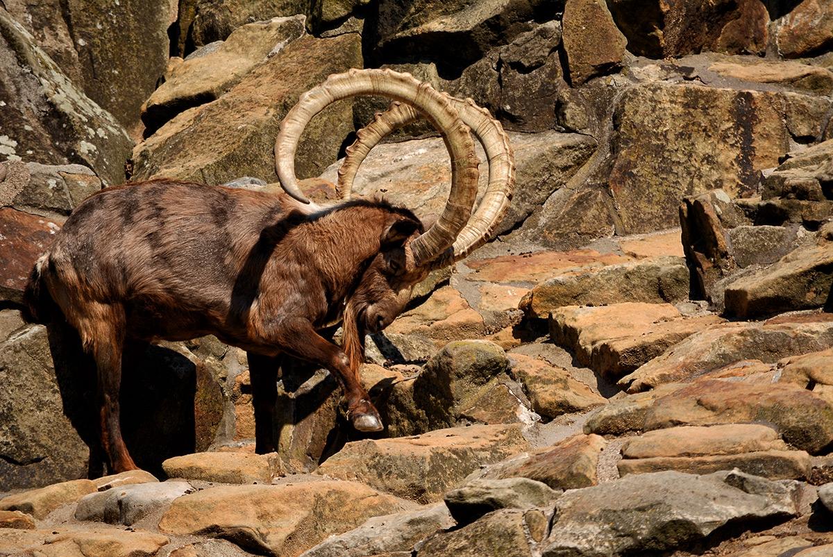 Сибирски козирог